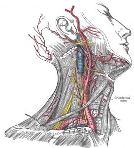 Arteria carotis (Halsschlagader) - Carotisduplex
